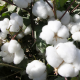 Cotton imports from Australia on the rise: