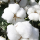 ICE cotton touches three-week peak as US storm threatens harvest