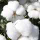India: Late Cotton Arrivals Drive Market Higher