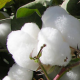 Uzbek cotton deal on hold over guarantee, price issues